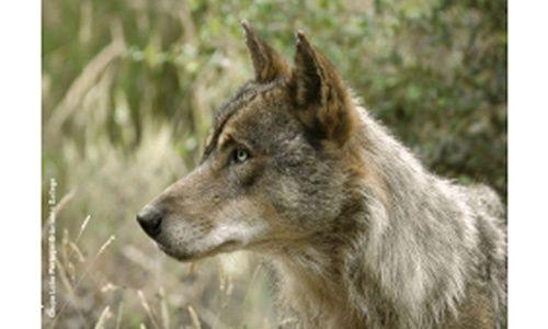 'El lobo ibérico', casa de las ciencias, Logroño