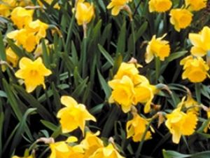 Bulbos: anticipa la primavera
