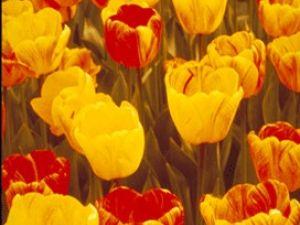 El gran espectáculo de los tulipanes se prepara en otoño