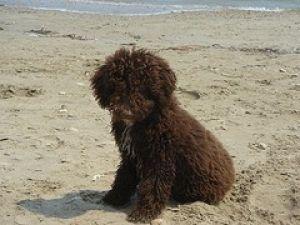 Perro de aguas español