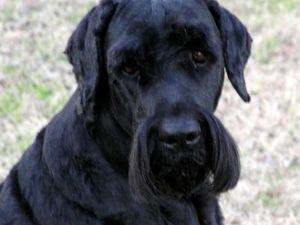 Terrier Ruso de pelo negro
