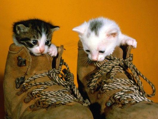 Gatitos en unas botas