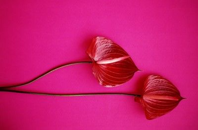 Flores rojas rosa
