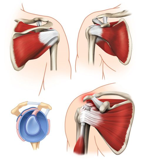 Tórax y hombro (músculos)