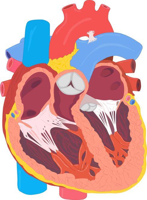 Corazón (corte frontal)
