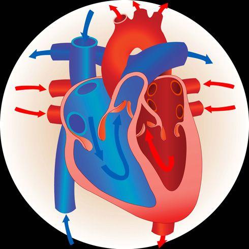Corazón (ventrículos)