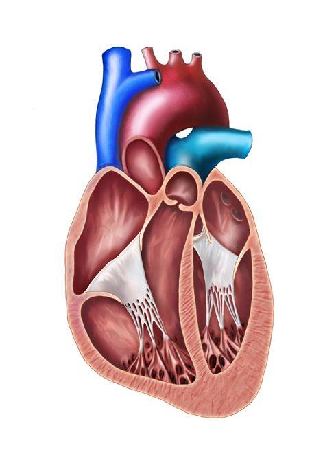 Interior de la cavidad cardiaca