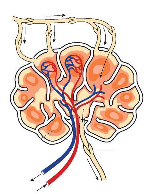 Nódulo linfático