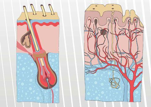 Glándulas sudorípara y sebácea