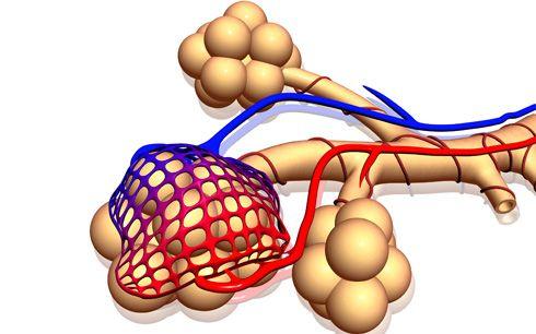Alvéolos con vasos sanguíneos