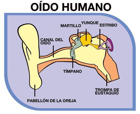 Estructura Del Oído