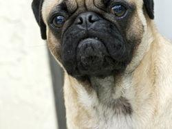 Pug- Carlino