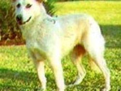 Perro del Atlas
