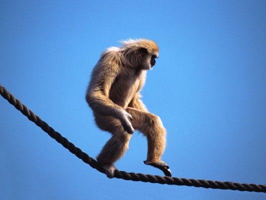 Mono haciendo equilibrio