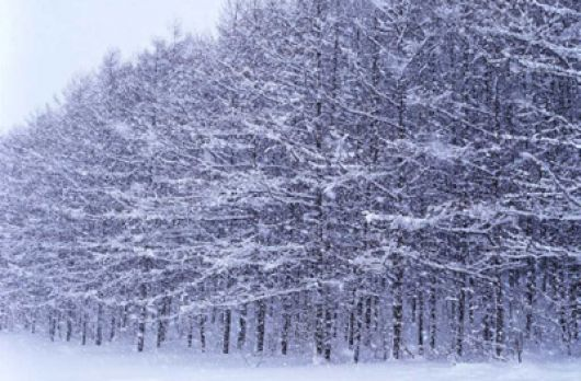 Bosque de nieve