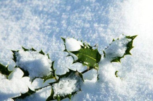 Acebo nieve
