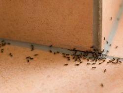 El truco de la abuela para repeler las hormigas