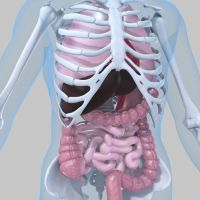 Pulmones en el tórax
