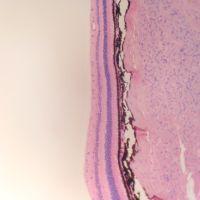 Retina al microscopio