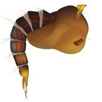 Larva de mosquito