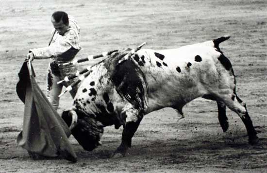 toro blanco