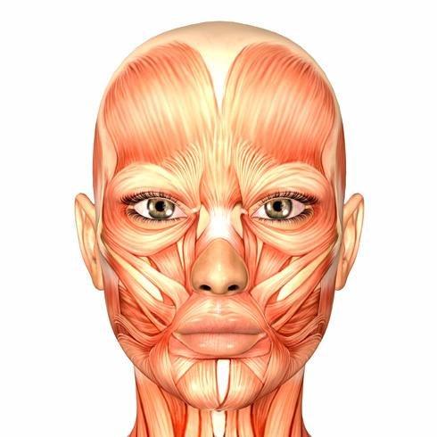 musculo de la cara: