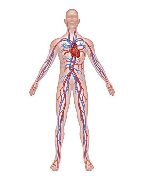 Fotos de el sistema circulatorio - Imagui