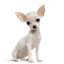 Fotos+de+perros+chiguaguas+gratis